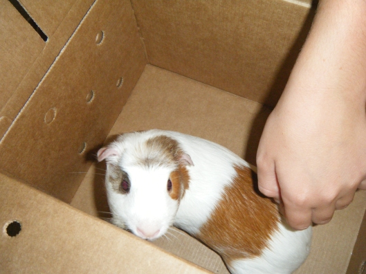 Are Male Guinea Pigs Bigger Than Females
