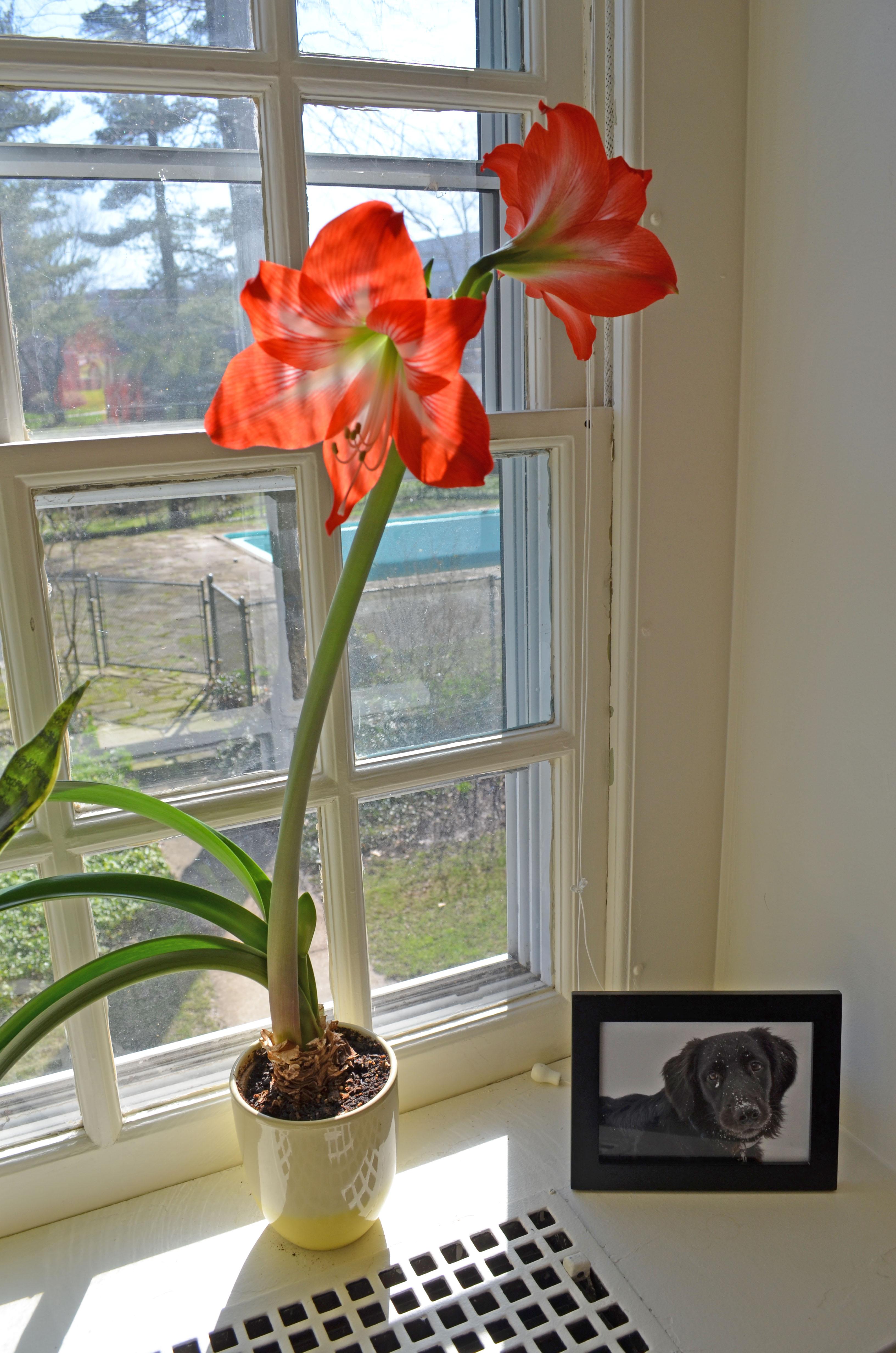 amaryllis ikea