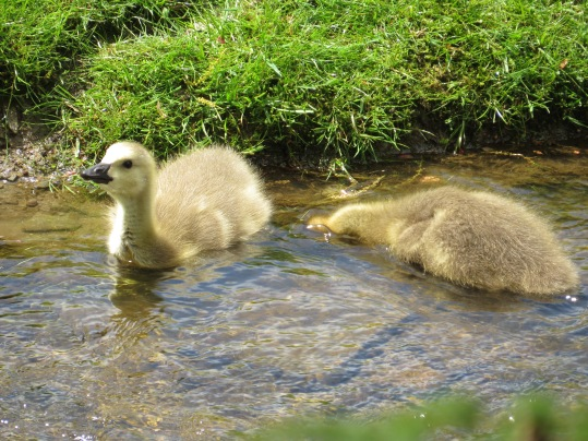 baby geese (8).JPG